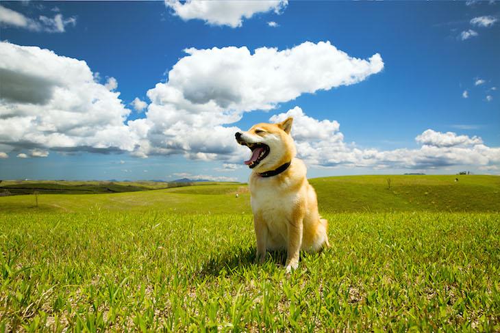 草原の柴犬